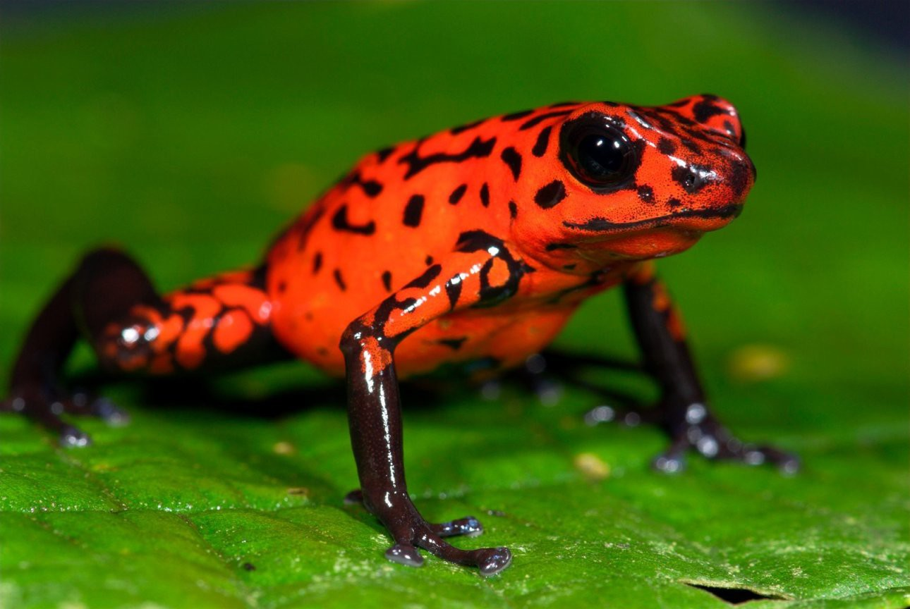 The Complete Oophaga pumilio (Central American Poison Dart) Poison dart frog photo