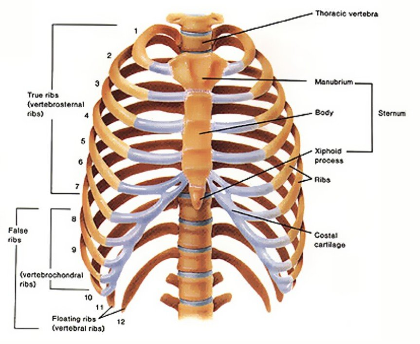 Thoracic cage anatomy