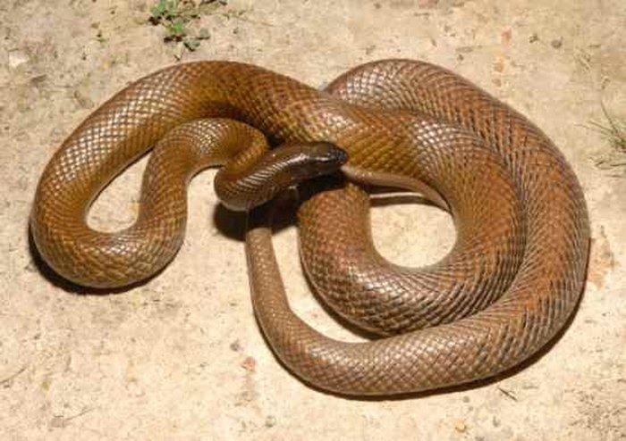 Жестокая змея