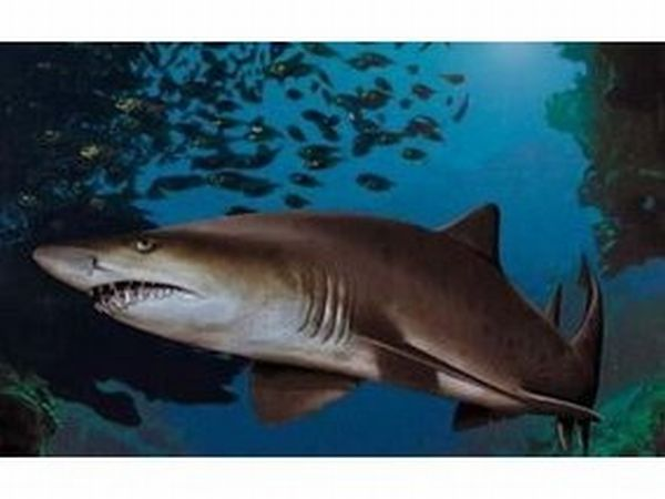 Песчаная акула – зубастый хищник
