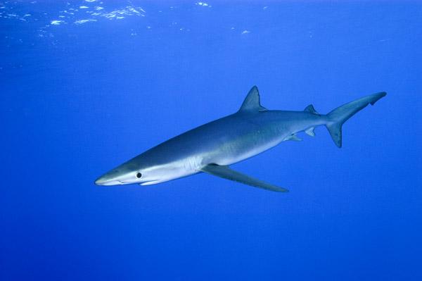 Большая голубая акула