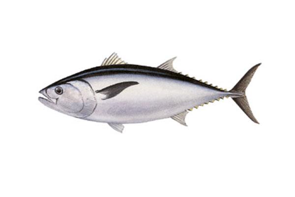 Обыкновенный тунец