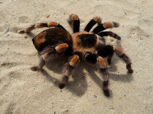Гигантский красный тарантул