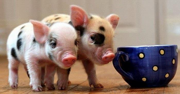 Мини-свинка