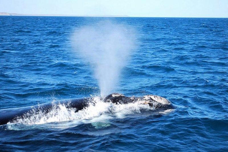 Почему кит выпускает фонтан