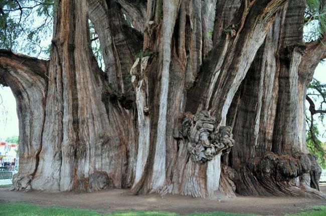 Дерево вида Таксодиум