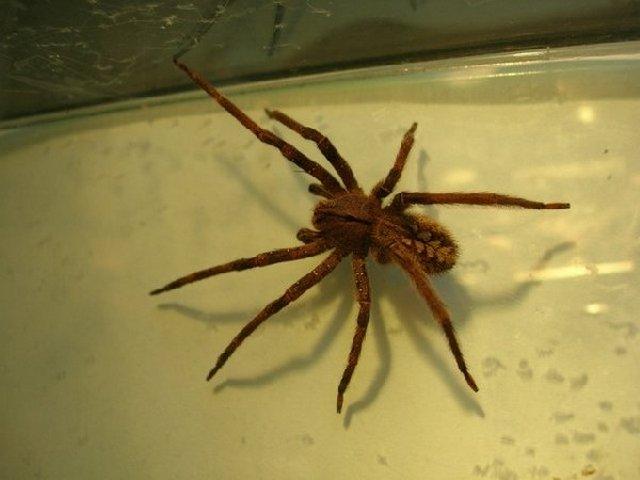 Бразильский странствующий паук имеет небольшие размеры