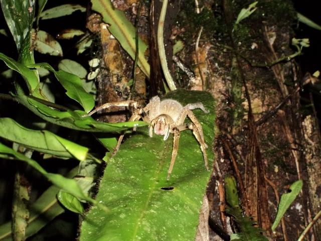 Бразильский странствующий паук живет на земле и на деревьях