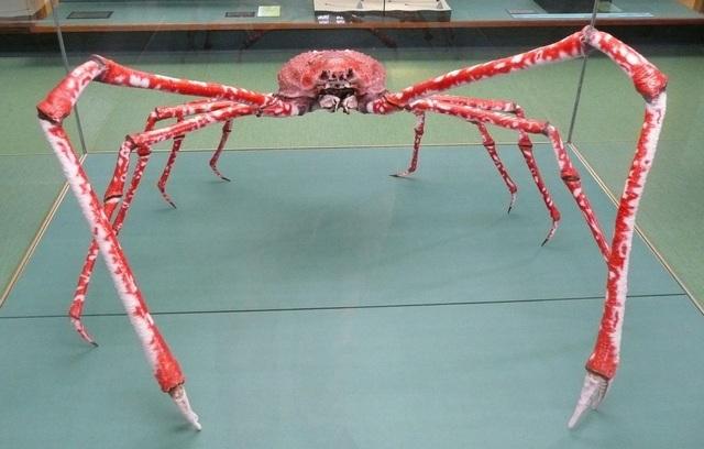 Размеры краба-паука