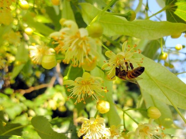 Цветки липы привлекают пчел