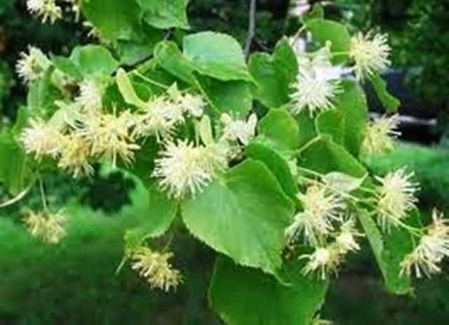 Листья липы
