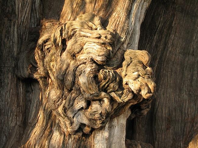 Наросты на дереве Туле