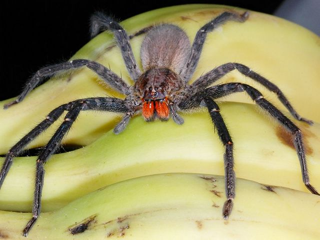 Бразильский странствующий паук на бананах