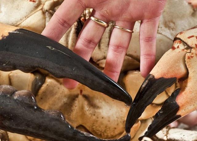 Размеры камчатского краба
