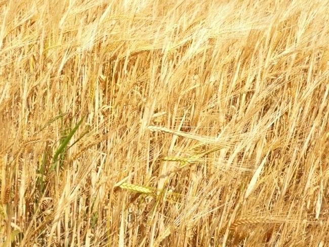 «Ячменное зерно»