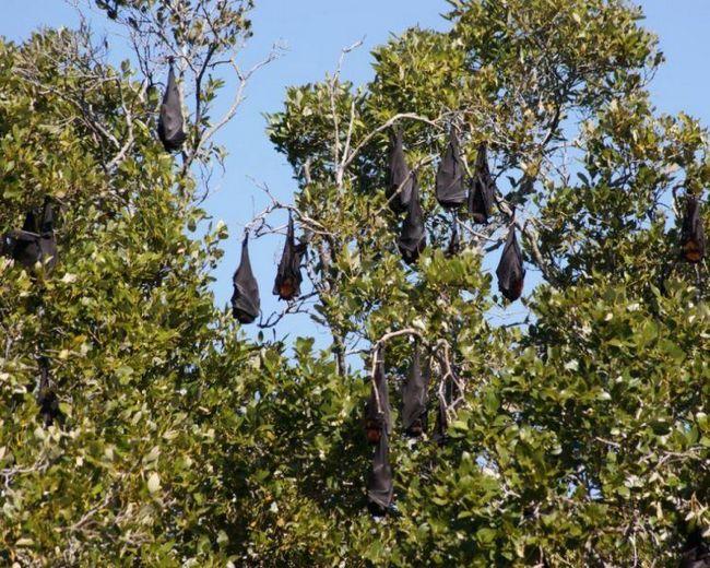 Спят гигантские летучие лисицы стаями