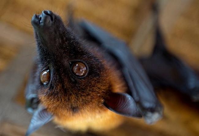 Внешне самая большая летучая мышь в мире похожа на лисицу