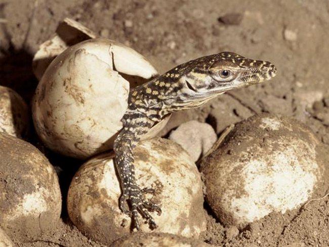 Вылупившийся из яйца детеныш комодского варана