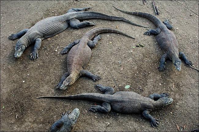 Комодские вараны - самые большие ящерицы