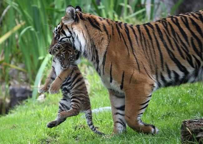 Самка суматранского тигра с детенышем