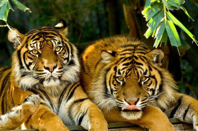 Суматранские тигры в зоопарке
