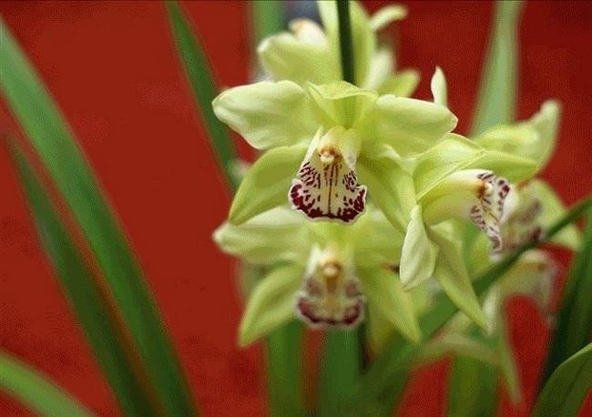 Орхидея «Shenzhen Nongke»
