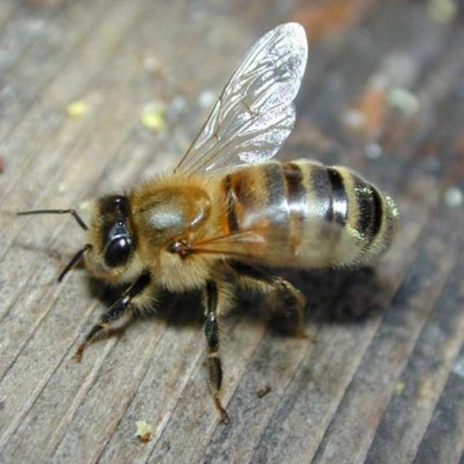 Африканизированная медовая пчела