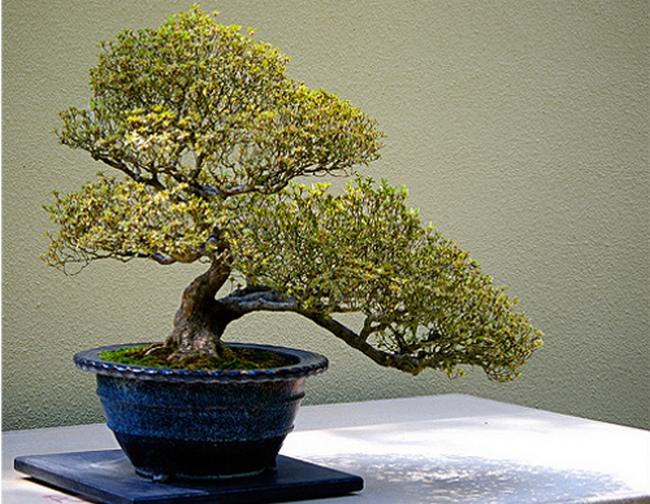 Карликовое дерево художника Куа Ти Тьонгу