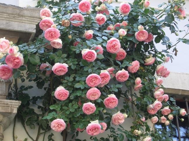 Роза «Эден Роуз»