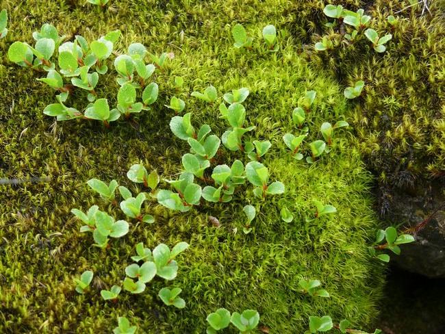 Самое маленькое дерево в мире Ива травянистая