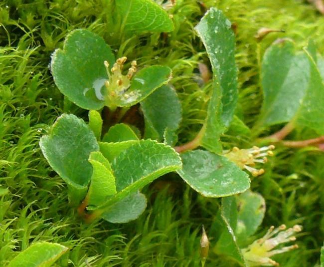Ива травянистая является самым маленьким деревом в мире