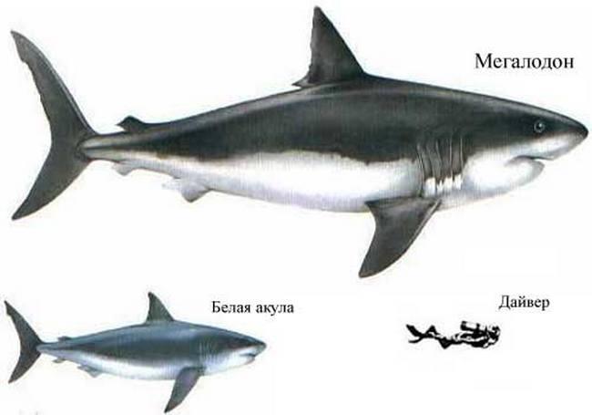 Сравнение размеров мегалодона и белой акулы