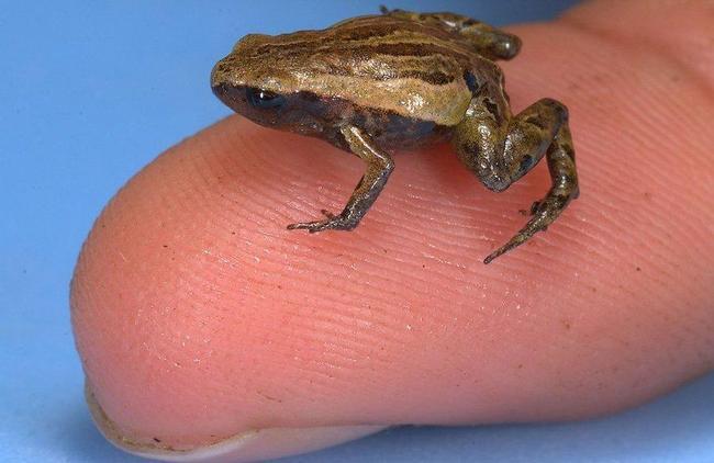 Самая маленькая лягушка Paedophryne