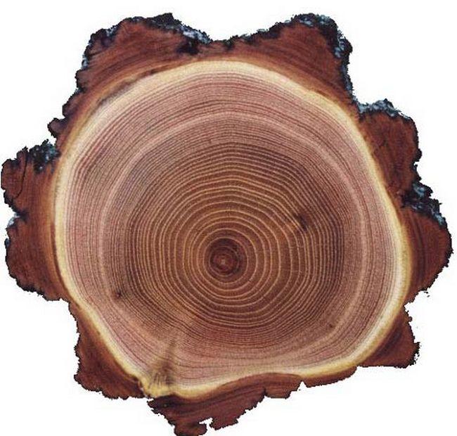 Акация белая (древесина)