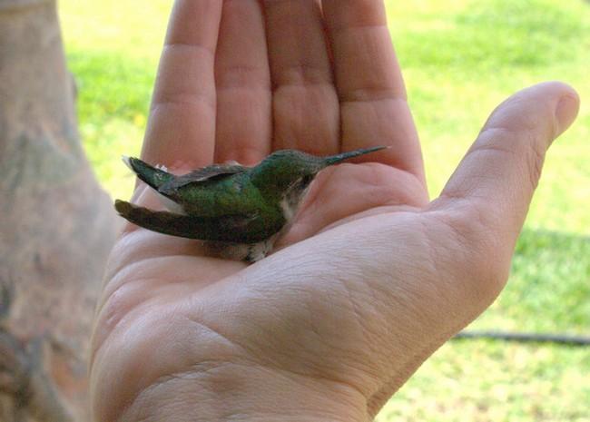 Самая маленькая птичка колибри-пчелка