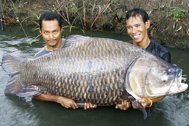 Самого большого карпа весом в 120 кг тянули из озера несколько мужчин