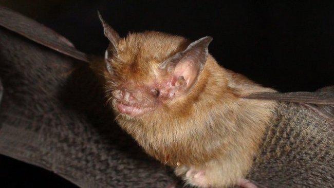 Свиноносая летучая мышь имеет серый или бурый окрас