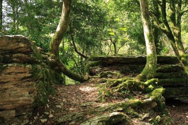 Тисс или негной-дерево