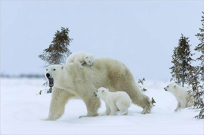 Beluj-medved