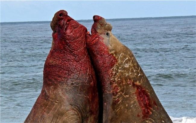 Yuznuj-morskoj-slon