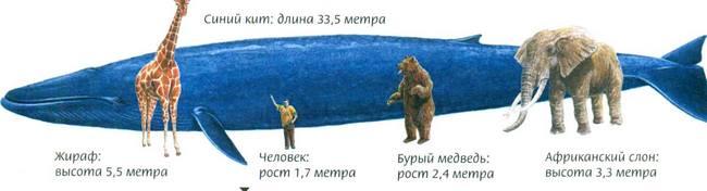 Сравнение размера синего кита с размерами человека и других животных