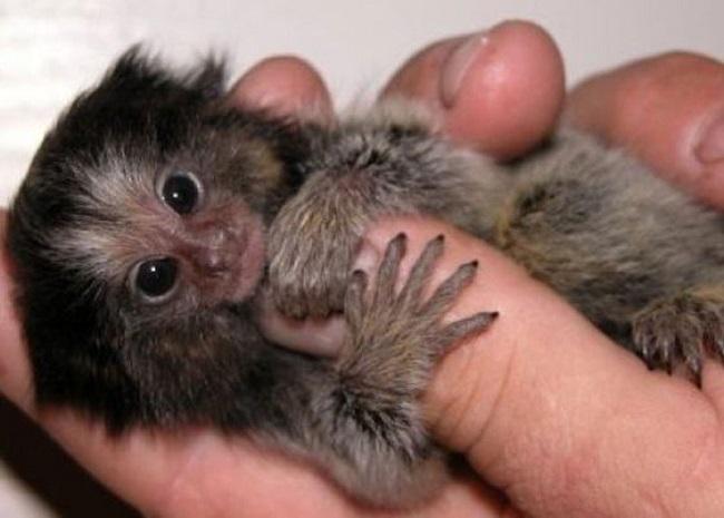 Самая крохотная обезьянка