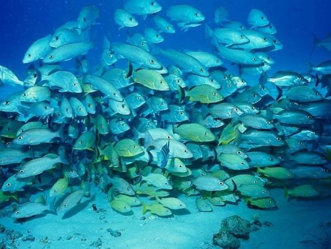 В Тихом океане водится много рыбы