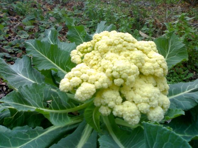 Цветная капуста - самый полезный овощ