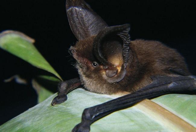Madagaskarskuj-prisoskonog