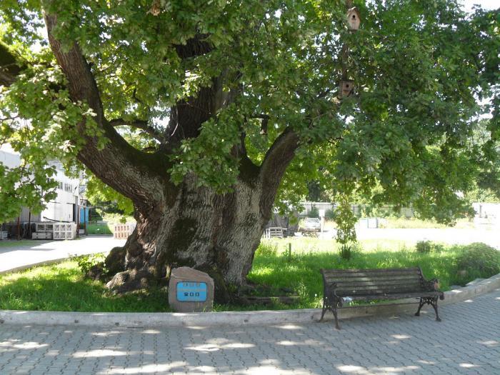 Грюнвальдский дуб