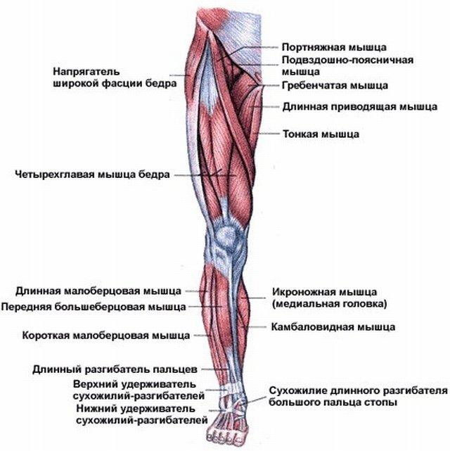 Самая длинная мышца человека