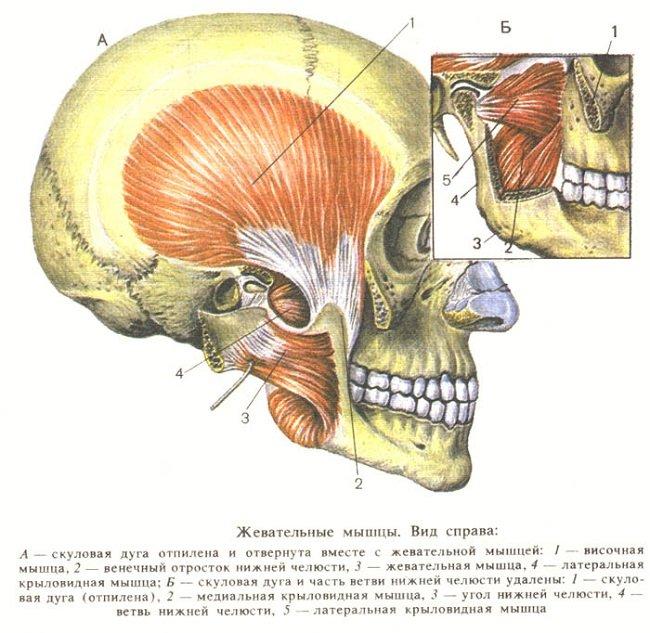 Жевательные мышцы
