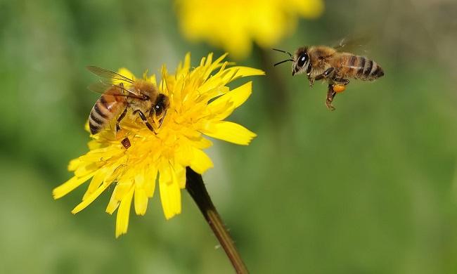 Кофеин способен улучшать память у пчел