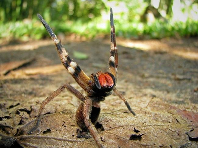 Блуждающий паук